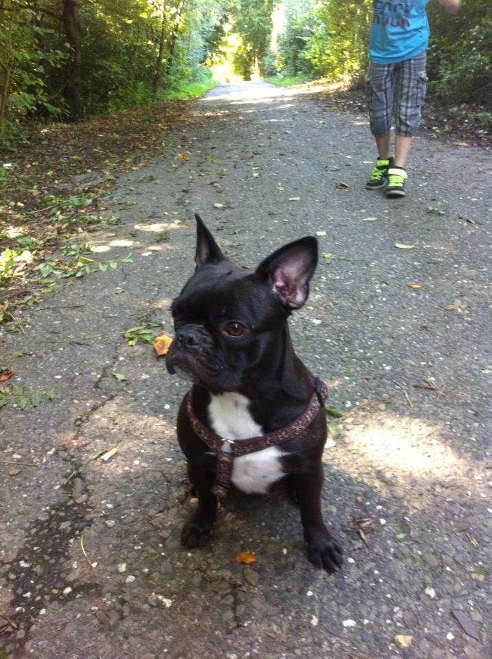 Franz 246 Sische Bulldogge Leben Mit Hund