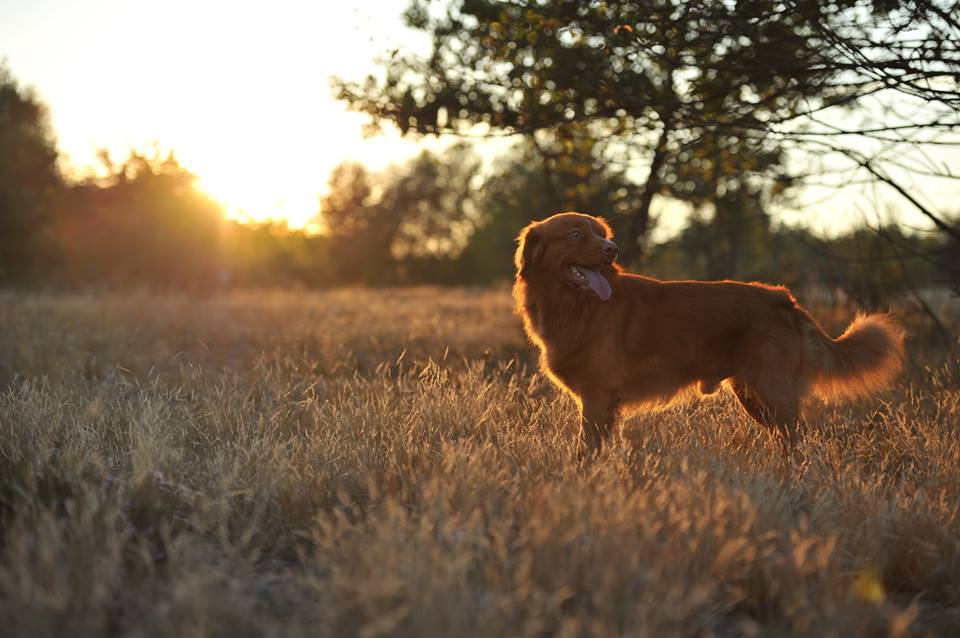 Cross Bred Tollers©